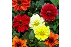 DAHLIA VARIABILIS DWARF RED SKIN MIX SEEDS MIXED COLOUR FLOWERS - 100 SEEDS