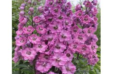 DELPHINIUM PACIFIC GIANT ASTOLAT SEEDS - LILAC & ROSE FLOWERS WITH WHITE BEE - 50 SEEDS