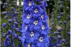 DELPHINIUM PACIFIC GIANT BLUE BIRD SEEDS - BRIGHT BLUE FLOWERS WITH WHITE BEE - 50 SEEDS