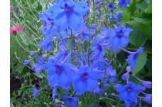 DELPHINIUM GRANDIFLORA BLUE BUTTERFLY SEEDS - VIVID BLUE FLOWERS - 200 SEEDS