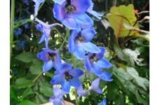 DELPHINIUM BLUE JADE SEEDS - PALE BLUE FLOWERS - 50 SEEDS