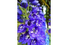 DELPHINIUM JUPITER BLUE SEEDS - BLUE FLOWERS WITH WHITE EYES - 50 SEEDS