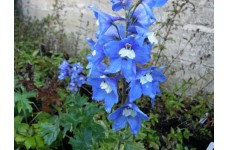 DELPHINIUM BLUE BIRD PACIFIC HYBRID BLUE PERENNIAL 1 LITRE POTTED PLANT - PRICED INDIVIDUALLY