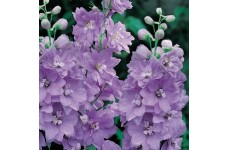 DELPHINIUM PACIFIC GIANT CAMELIARD SEEDS - LIGHT BLUE FLOWERS WITH WHITE BEE - 50 SEEDS