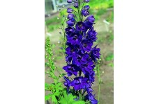 DELPHINIUM DWARF MAGIC FOUNTAIN SEEDS - DARK BLUE FLOWERS WITH DARK BEE - 50 SEEDS