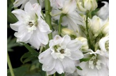 DELPHINIUM DWARF MAGIC FOUNTAIN SEEDS - PURE WHITE FLOWERS WITH WHITE BEE - 50 SEEDS