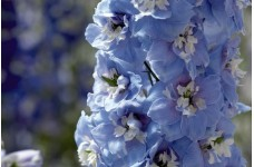 DELPHINIUM DWARF MAGIC FOUNTAIN SEEDS - SKY BLUE FLOWERS WITH WHITE BEE - 50 SEEDS