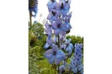 DELPHINIUM ELATUM KESTREL BLUE SEEDS - BLUE FLOWERS - 50 SEEDS