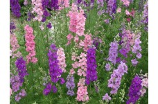 DELPHINIUM LARKSPUR GIANT IMPERIAL MIXED SEEDS - MIXED CLOUR FLOWERS - 400 SEEDS