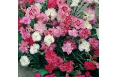 DIANTHUS SPRING BEAUTY MIX SEEDS - MIXED COLOUR FRAGRANT FLOWERS - 500 SEEDS