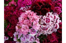 DIANTHUS BARBATUS SEEDS - SWEET WILLIAM DOUBLE MIX SEEDS - 2000 SEEDS