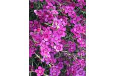 DIANTHUS DELTOIDES PINK GEM SEEDS - SMALL BRIGHT PINK FLOWERS - 1000 SEEDS