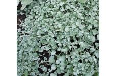 DICHONDRA ARGENTEA SILVER FALLS PERENNIAL PLUG PLANT (5CM PLUG) - PRICED INDIVIDUALLY