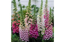 DIGITALIS CAMELOT MIX FOXGLOVE MINI PLUG PLANT (1CM PLUG) - PRICED INDIVIDUALLY