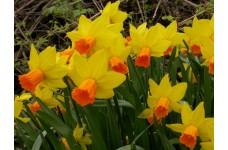 DWARF DAFFODIL MINIATURE NARCISSUS - JETFIRE BULBS - YELLOW WITH ORANGE  - PRICED INDIVIDUALLY