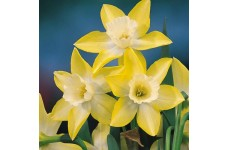 DWARF DAFFODIL MINIATURE NARCISSUS - PIPIT BULBS - PALE YELLOW  - PRICED INDIVIDUALLY