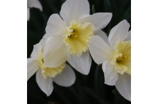 DWARF DAFFODIL MINIATURE NARCISSUS - PUEBLO BULBS - WHITE WITH PALE YELLOW  - PRICED INDIVIDUALLY