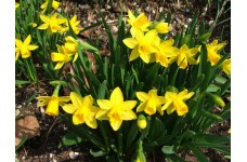 DWARF DAFFODIL MINIATURE NARCISSUS - TETE A TETE BULBS - YELLOW  - PRICED INDIVIDUALLY