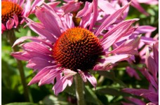 ECHINACEA PURPUREA POW WOW SEEDS - PINK WILD BERRY CONE FLOWER - 300 SEEDS