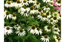ECHINACEA PURPUREA WHITE SWAN CONEFLOWER PERENNIAL PLUG PLANT (5CM PLUG) - PRICED INDIVIDUALLY