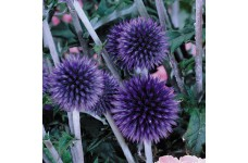 ECHINOPS BANNATICUS BLUE GLOBE THISTLE PERENNIAL 1 LITRE POTTED PLANT - PRICED INDIVIDUALLY