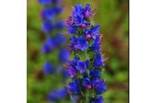 ECHIUM VULGARE - VIPERS BUGLOSS SEEDS - BLUE CONICAL FLOWERS - 400 SEEDS