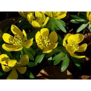 ERANTHIS HYEMALIS BULBS - WINTER ACONITE - RHS AWARD GARDEN MERIT  - PRICED INDIVIDUALLY