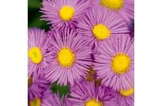 ERIGERON PINK JEWEL FLEABANE DAISY PLUG PLANT (5CM PLUG) - PRICED INDIVIDUALLY