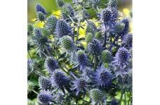 ERYNGIUM PLANUM BLUE GLITTER SEA HOLLY PLUG PLANT (5CM PLUG) - PRICED INDIVIDUALLY