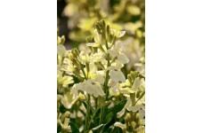 ERYSIMUM CHEIRI - IVORY WHITE SEEDS - WHITE ENGLISH WALLFLOWER - 1500 SEEDS
