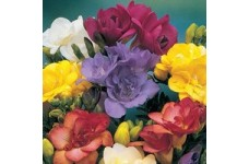 FREESIA DOUBLE BULBS - PETALED FLOWERS MIXED COLOURS AND A SWEET FRAGRANCE   - PRICED INDIVIDUALLY