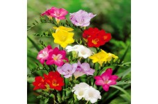 FREESIA SINGLE MIX BULBS - PRICED INDIVIDUALLY