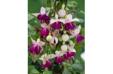 FUCHSIA PINK BALLET GIRL PERENNIAL 0.5L / 9CM POTTED PLANT - PRICED INDIVIDUALLY