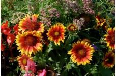 GAILLARDIA ARISTATA GRANDIFLORA MIXED SEEDS - BLANKET FLOWER - 200 SEEDS