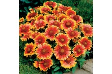 GAILLARDIA ARISTATA ARIZONA SUN BLANKET FLOWER MINI PLUG PLANT (1CM PLUG) - PRICED INDIVIDUALLY