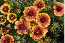 GAILLARDIA KOBOLD GOBLIN BLANKET FLOWER PERENNIAL 1 LITRE POTTED PLANT - PRICED INDIVIDUALLY