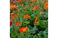 GEUM COCCINEUM COOKY AVENS PERENNIAL PLUG PLANT (5CM PLUG) - PRICED INDIVIDUALLY
