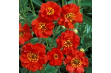 GEUM MRS BRADSHAW SEEDS - SCARLET RED FLOWERS - 200 SEEDS