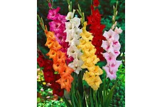 GLADIOLI BULBS - MIXED COLOURS - PERENNIAL BULBS - PRICED INDIVIDUALLY