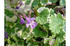 GLECHOMA HEDERACEA VARIEGATA GROUND IVY PERENNIAL 0.5L / 9CM POTTED PLANT - PRICED INDIVIDUALLY