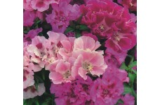 GODETIA CROWN DOUBLE MIX SEEDS - MIXED COLOUR FLOWERS - 2000 SEEDS