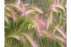 HORDEUM JUBATUM SEEDS - SQUIRREL GRASS / FOXTAIL BARLEY ORNAMENTAL GRASS SEEDS - 250 SEEDS