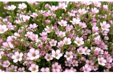 GYPSOPHILA REPENS ROSEA PINK PERENNIAL 1 LITRE POTTED PLANT - PRICED INDIVIDUALLY
