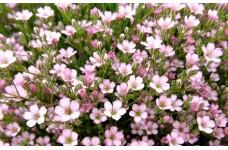 GYPSOPHILA REPENS ROSEA PINK PERENNIAL PLUG PLANT (5CM PLUG) - PRICED INDIVIDUALLY