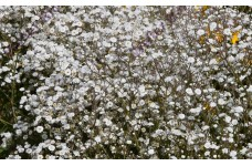 GYPSOPHILA PANICULATA BABY'S BREATH WHITE PERENNIAL 1 LITRE POTTED PLANT - PRICED INDIVIDUALLY