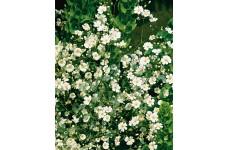 GYPSOPHILA PANICULATA ALBA WHITE SEEDS - 1500 SEEDS