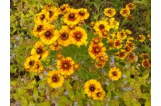 HELENIUM GOLDRAUSCH / GOLD RUSH SNEEZEWEED PERENNIAL 1 LITRE POTTED PLANT - PRICED INDIVIDUALLY