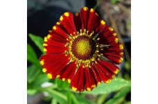 HELENIUM AUTUMNALE HELENA RED SHADES PERENNIAL 1 LITRE POTTED PLANT - PRICED INDIVIDUALLY