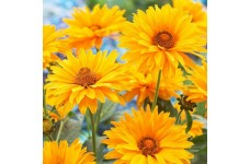 HELIOPSIS HELIANTHOIDES SUMMER SUN - LARGE GOLDEN YELLOW FLOWERS - 100 SEEDS