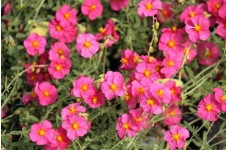 HELIANTHEMUM MUTABILE ROCK ROSE PINK ANGEL PERENNIAL 1 LITRE POTTED PLANT - PRICED INDIVIDUALLY